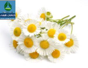 معرفی گیاه دارویی بابونه Matricaria recutita