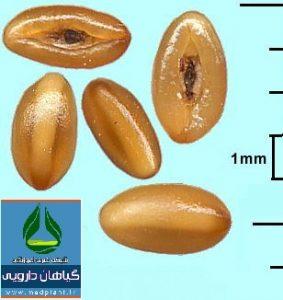 دانه بارهنگ