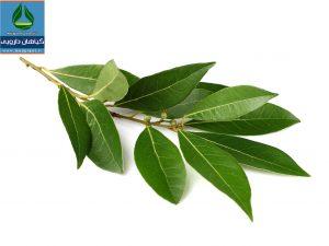 معرفی گیاه دارویی برگ بو Laurus nobilis