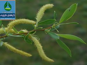 بید خشت Willow manna