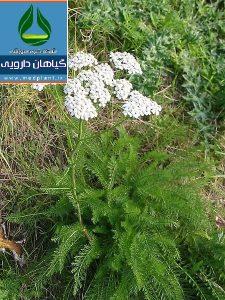 بومادران Achillea millefolium