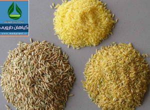 خواص دارویی برنج Oryza sativa