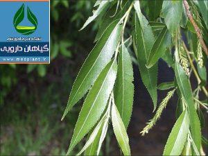 بید Salix alba