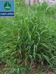گیاه دارویی مَرغ Agropyron repens