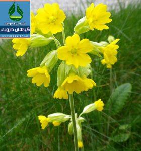 گیاه دارویی پامچال طبی Primula veris