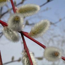 بیدمشک Salix aegyptiaca