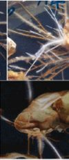 ریشه موئین