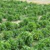 مزرعه کاشت کشت تولید زراعت گیاهان دارویی