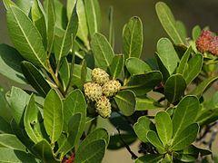 کنوکارپوس Conocarpus erectus