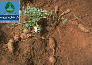 گیاه و ریشههای تکمهای پنجه شیطان