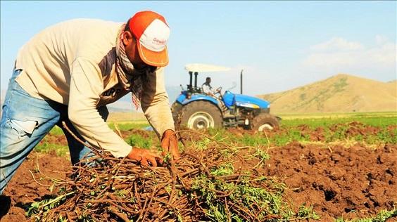 کاشت برداشت مزرعه تولید شیرین بیان