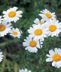 گل حشره کش (پیرتروم)