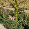 باریجه قسنی Ferula gommusa