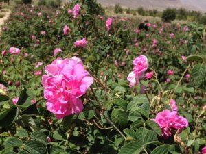 گل محمدی شیراز میمند