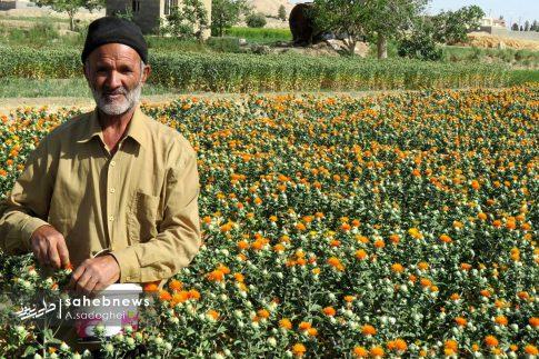 برداشت گلرنگ از مزارع استان اصفهان